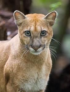 Puma in Costa Rica -- Photo: Lapa Rios Ecolodge | Costa ...