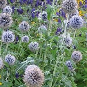 Acheter Des Plantes : echinops bannaticus 39 taplow blue 39 plantes vivaces acheter des plantes en ligne ~ Melissatoandfro.com Idées de Décoration