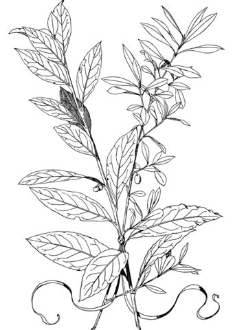 olive branch coloring page  printable coloring pages