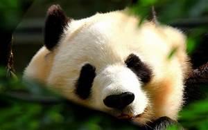 Japan animals panda bears wallpaper | 1920x1200 | 11881 ...