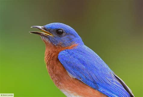 blue birds bluebirds