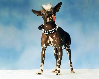 Ugly Dog Wallpapers Ugliest Dogs Chinese Crested