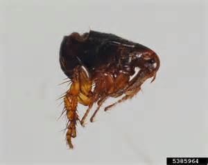 cats fleas fleas and ticks pest identification ormond