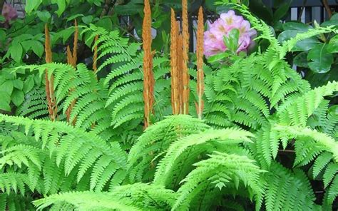 cinnamon fern buy cinnamon fern 1 gallon perennials shade loving buy plants online