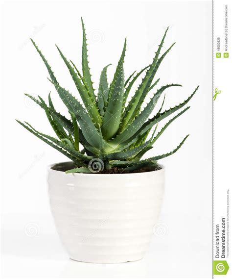 ge 239 soleerd alo 235 vera plant op witte pot stock foto afbeelding 46002625