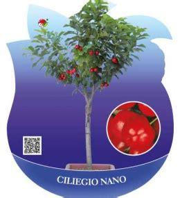 ciliegio nano in vaso produzione e vendita ciliegio nano vasta scelta di frutti