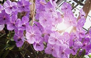 Orchidee Vanda Pflege : blaue orchidee pflegen gie en d ngen schneiden und mehr ~ Lizthompson.info Haus und Dekorationen