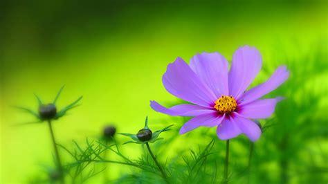 紫色花瓣,花园,绿色植物背景,鲜花高清桌面壁纸-花卉壁纸-壁纸下载-彼岸桌面