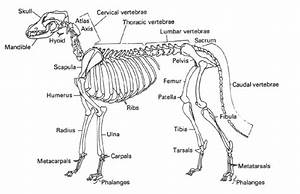 Dog Skeleton With Major Bone Elements Labeled  Davis  1987