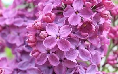 Lilac Flowers Purple 4k