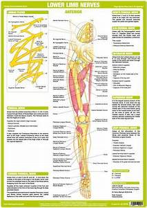 Lower Limb Nerves Anterior