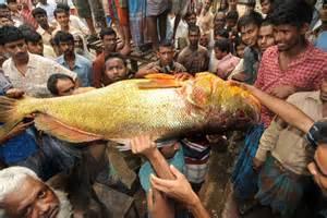 Locals glimpse rare golden snapper