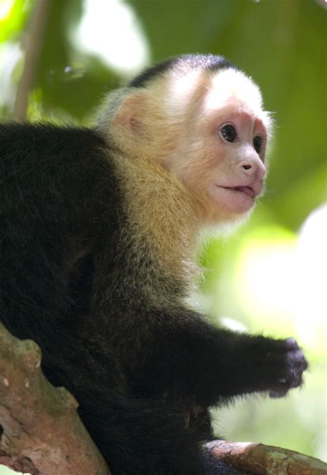 capuchin monkey pet animals world wallpapers of animal capuchin monkeys gallery