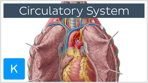 Circulatory System  Function, Definition  Human Anatomy  Kenhub Youtube