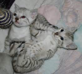 snow bengal cat seal mink and seal lynx point spotted snow bengal kittens