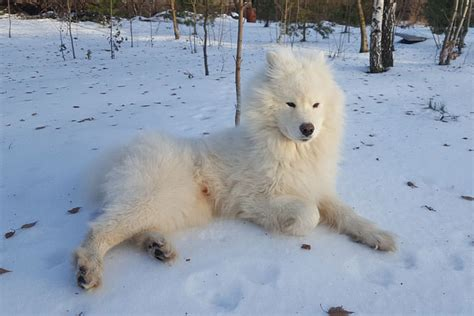 giving this to your samoyed daily could help alleviate skin allergies iheartdogs