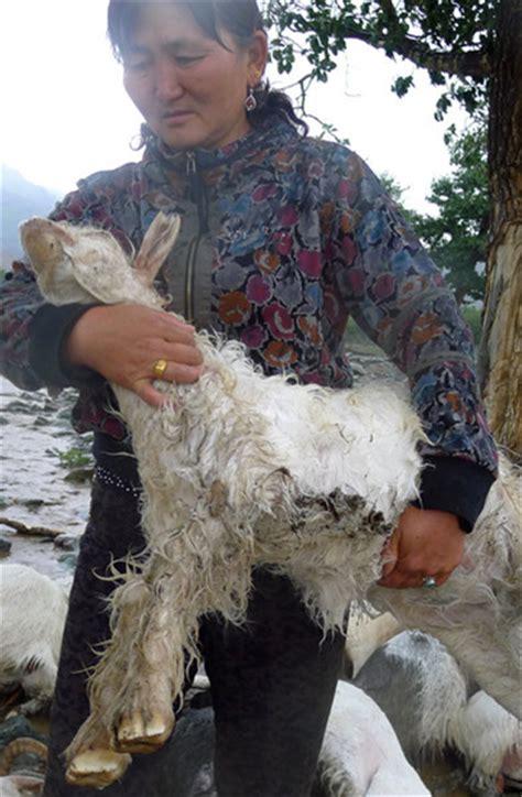 """Смотрите видео chinese lady slaughters goat в высоком качестве. Chinese Woman Killing A Goat : foto: """"I LIKE CURRY GOAT ..."""