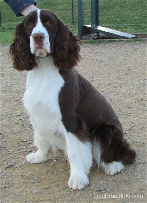 field springer spaniel shedding warm and compact on