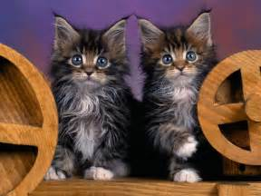 coon cats wallpapers maine coon kittens