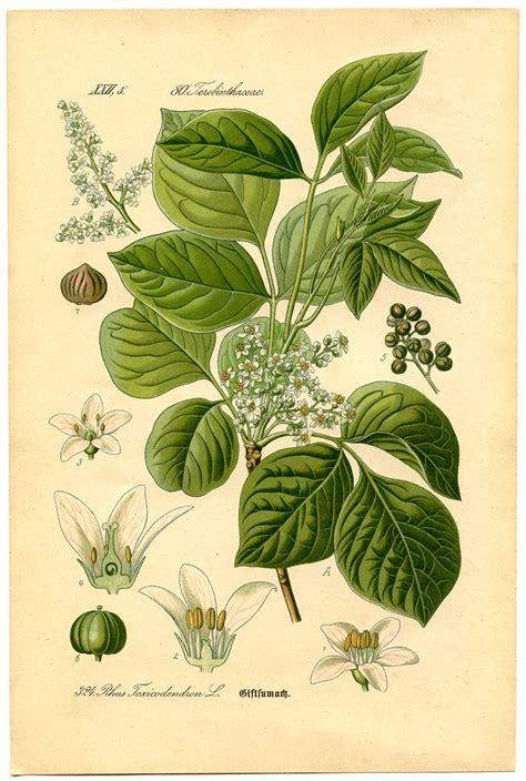 instant art printable botanical  poison ivy