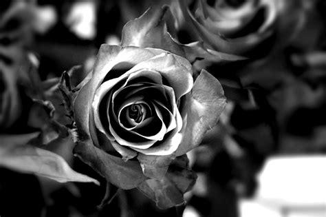 gambar bunga indah hitam putih kumpulan gambar bunga