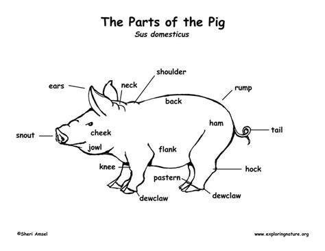 Guinea Pig Diagram Label by Pig