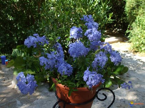 piante da cortile plumbago evergreen perennial climber evergreen