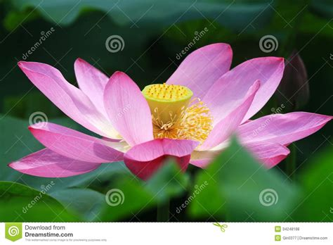 Bee In Lotus Royalty-free Stock Photography