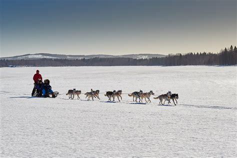 Slee Honden by Hoe Worden Husky S Getraind Tot Sledehonden National