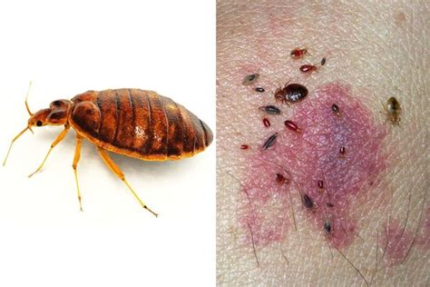 do bed bugs come out when the lights are on what time do bed bugs come out 28 images bed bug