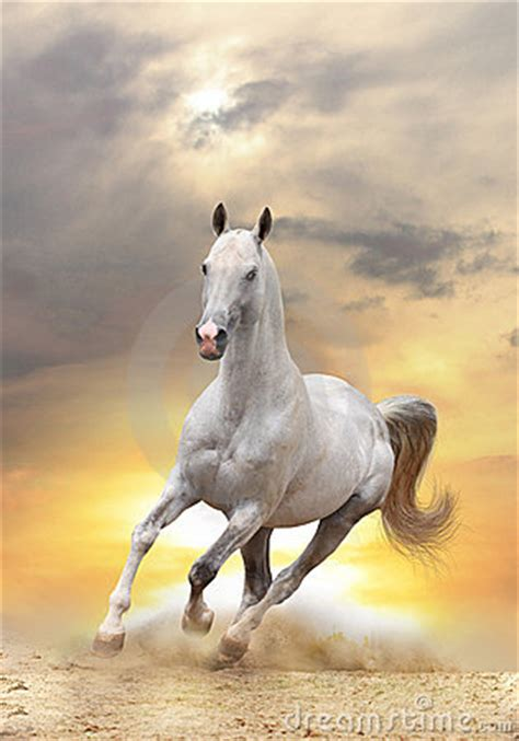 white horse  sunset stock image image