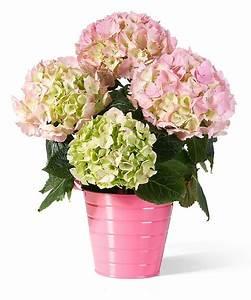 Hortensie Umpflanzen Im Topf : hortensien im topf hortensien im topf mein sch ner garten hortensien im topf pflanzung und ~ Orissabook.com Haus und Dekorationen