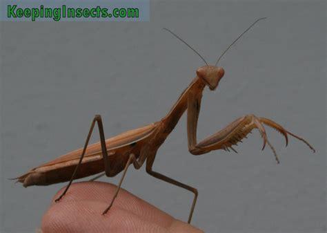praying mantis colors european mantis mantis religiosa keeping insects