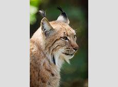Lynx Free Stock Photo Public Domain Pictures