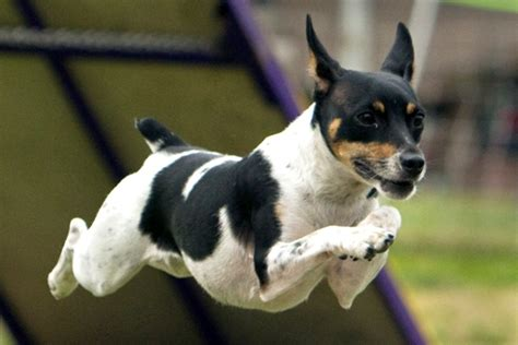 rat terrier shedding breeds rat terrier breeds picture