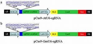 Construction Of Binary Vectors For Genome Editing In