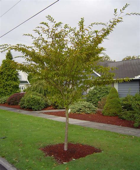 small japanese trees tree profile for the japanese hornbeam urban forest nursery inc