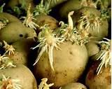 Лечение простатита ростками картофеля