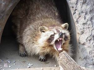 Conn. woman mauled by raccoon after mistaking it for cat ...