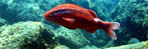 cuisine rouget alerte forte raréfaction du poisson en manche et mer du nord