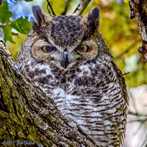 juvenile great horned owl call f f info 2017