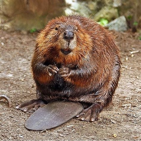 Beaver Kills Fisherman In Belarus Photo Of Fatal Wound Released Dbtechno
