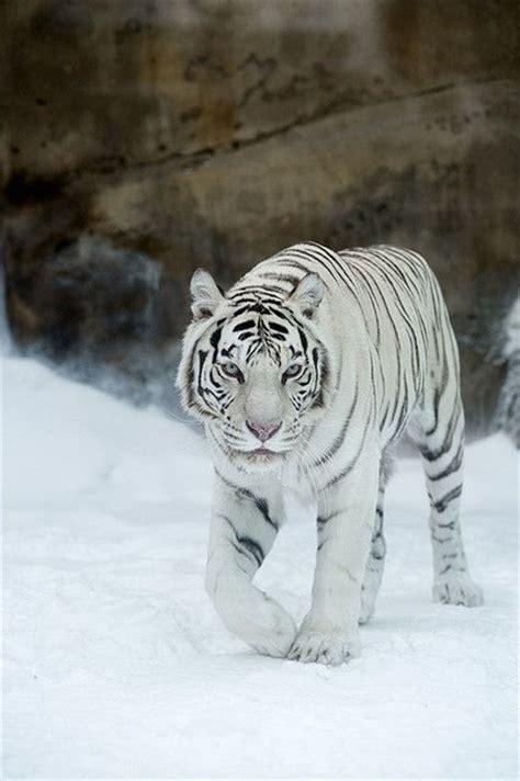 Best Images About Tijgers Pinterest Golden Tiger