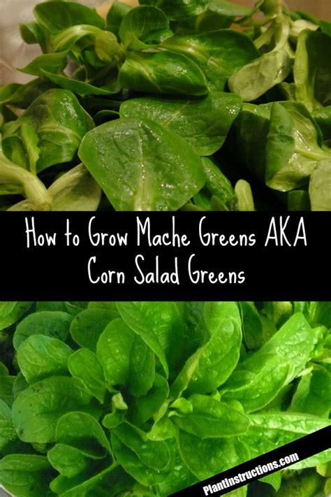 grow mache greens aka corn salad greens plant