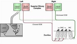 Olivocochlear System