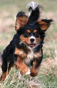 Doberman, Cavalier King Charles Spaniel | Dog Cross Breeds ...
