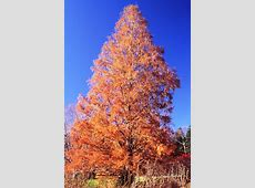 Horticultural Highlight Dawn redwood, Metasequoia