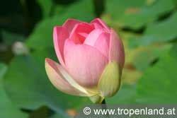 Lotusblume Botanischer Garten Wien by Tropenland At Exotische Pflanzen Selbst Ziehen