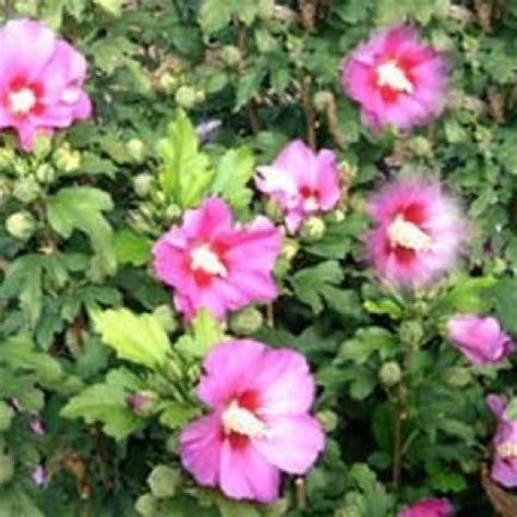 hibiskus hecke schneiden hibiskus richtig schneiden garten pflanzen bonsai
