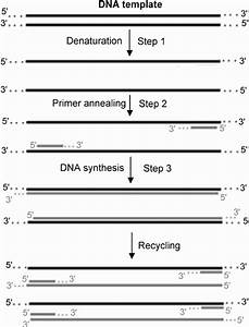 Polymerase Chain Reaction  Pcr   This Process Includes 30